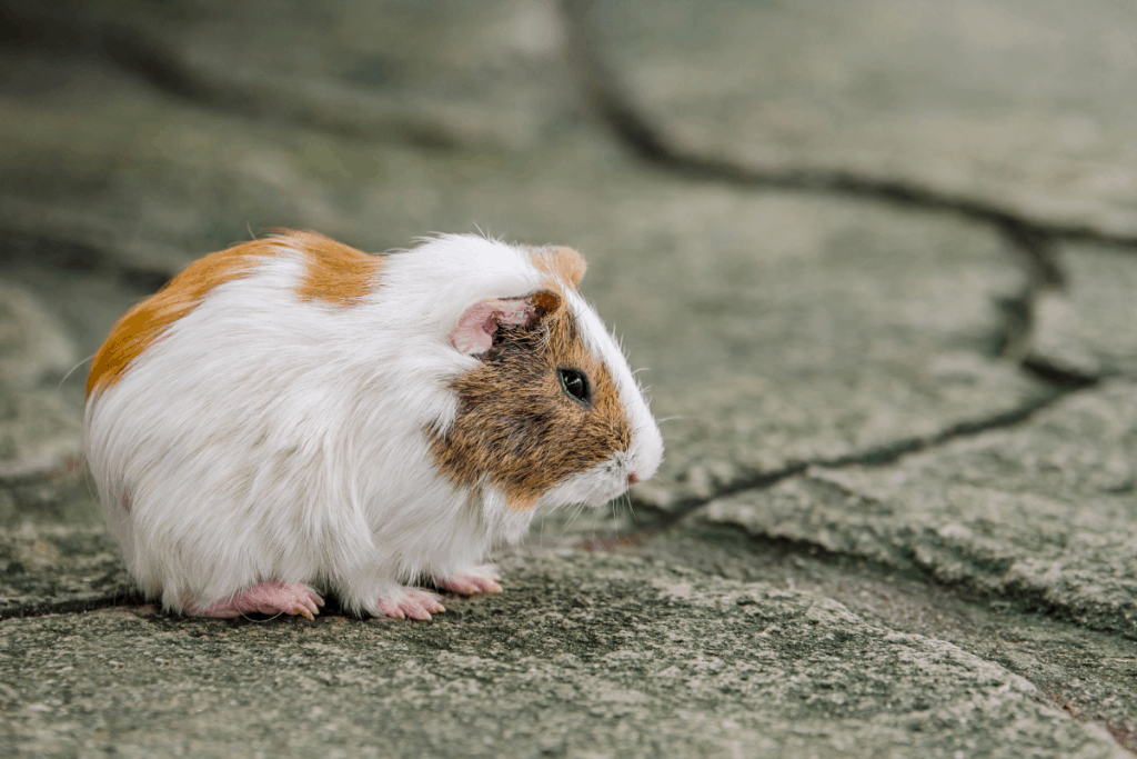 how long can a guinea pig go without food 2