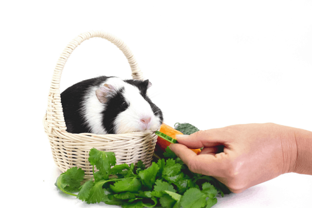 how long can a guinea pig go without food 3