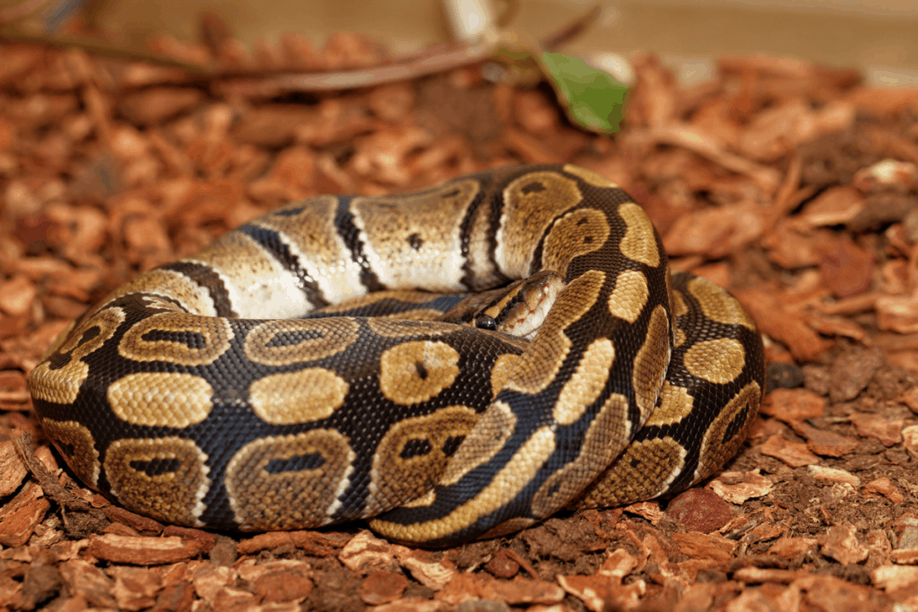 how much should my ball python weigh 2