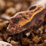 how to breed crested geckos 1