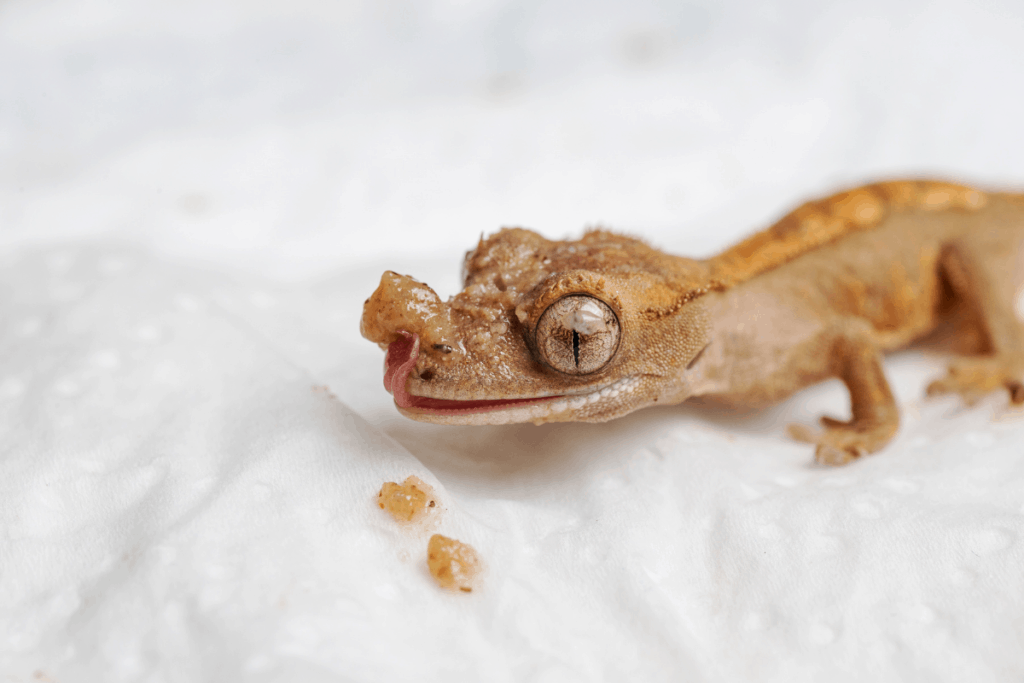 how to breed crested geckos 3