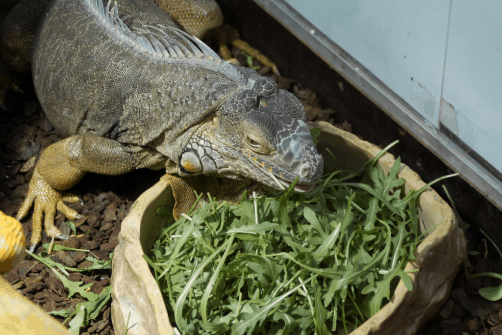 how to care for an iguana 2