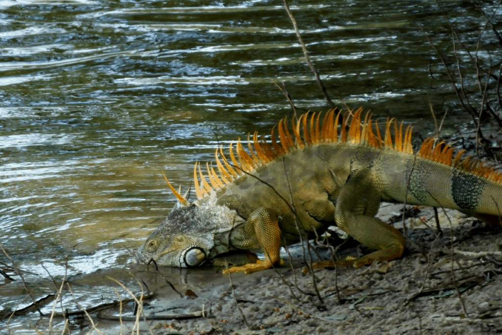 how to care for an iguana 3