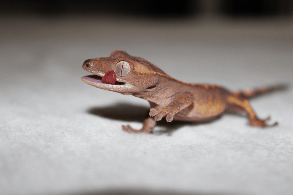 how to get your crested gecko to like you 1
