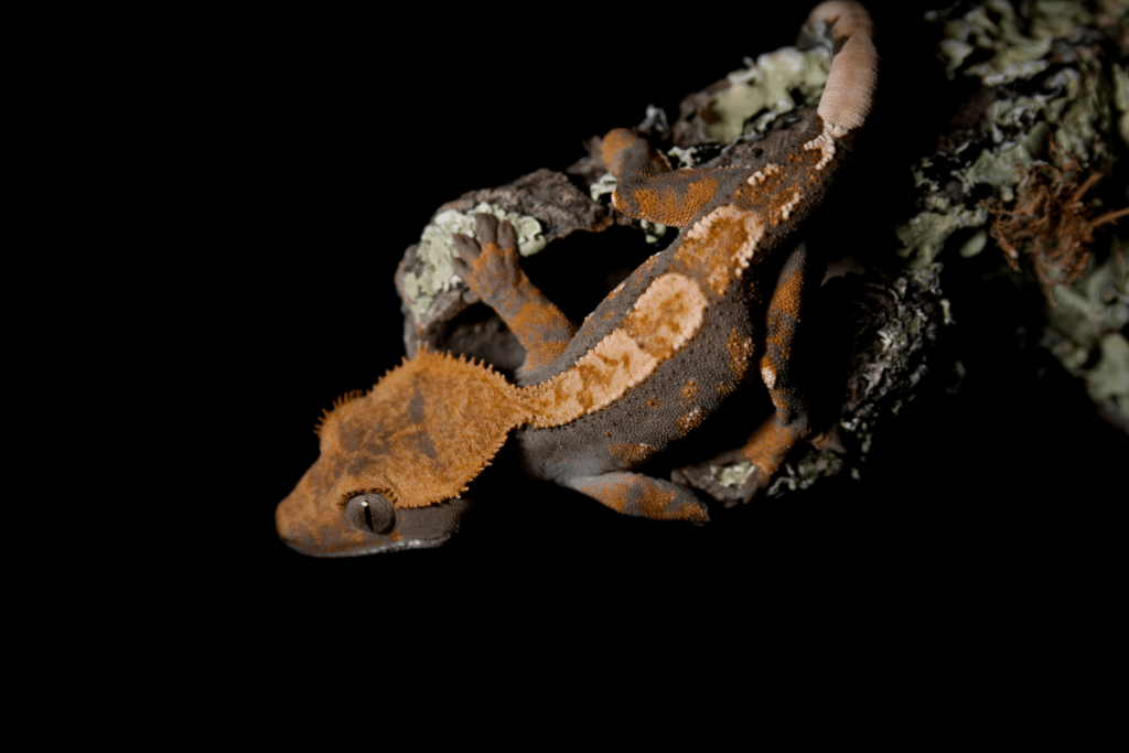 how to get your crested gecko to like you 2