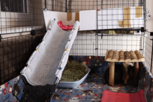 how to keep a guinea pig cage from smelling 7