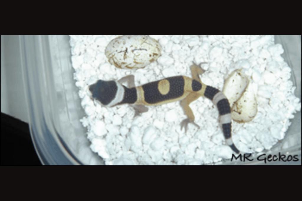leopard gecko morphs aberrant