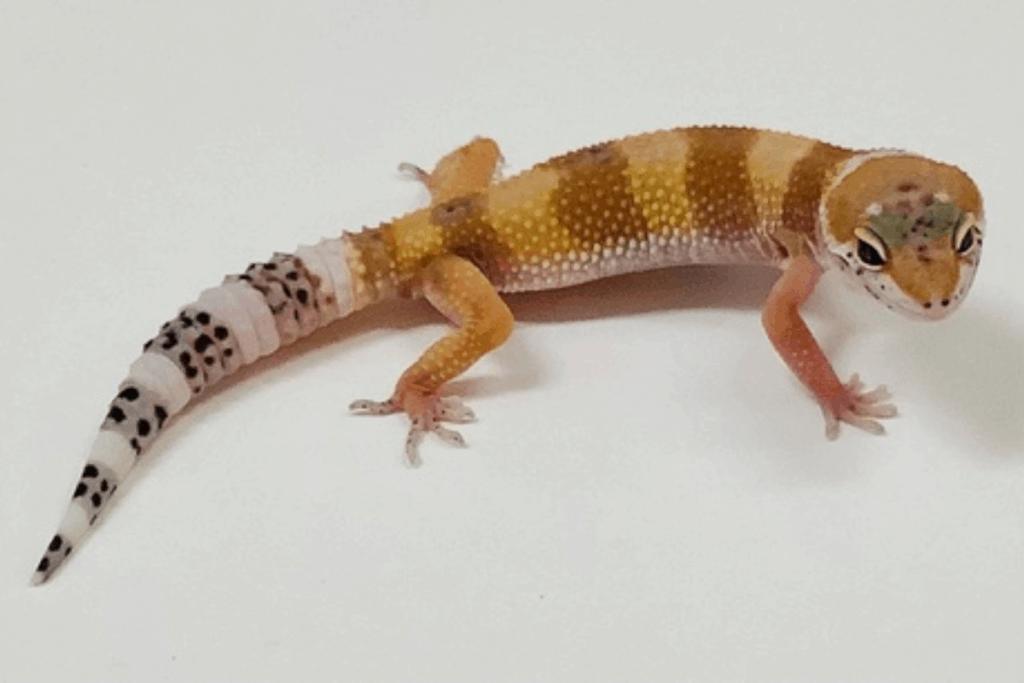 leopard gecko morphs baldy