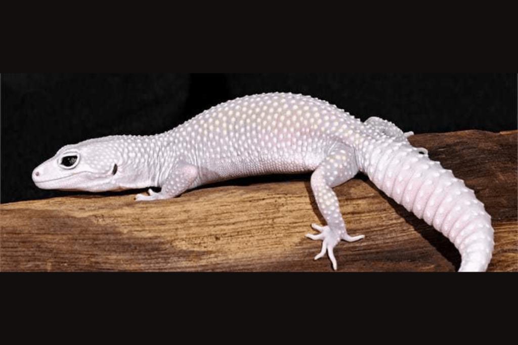 leopard gecko morphs blizzard