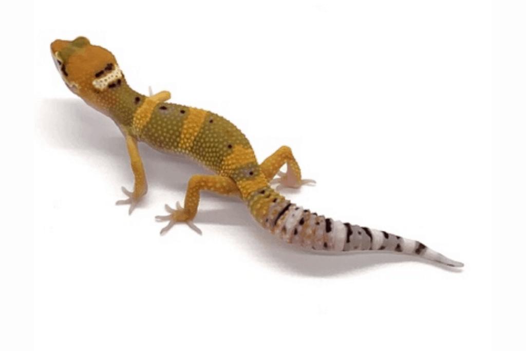 leopard gecko morphs carrot head