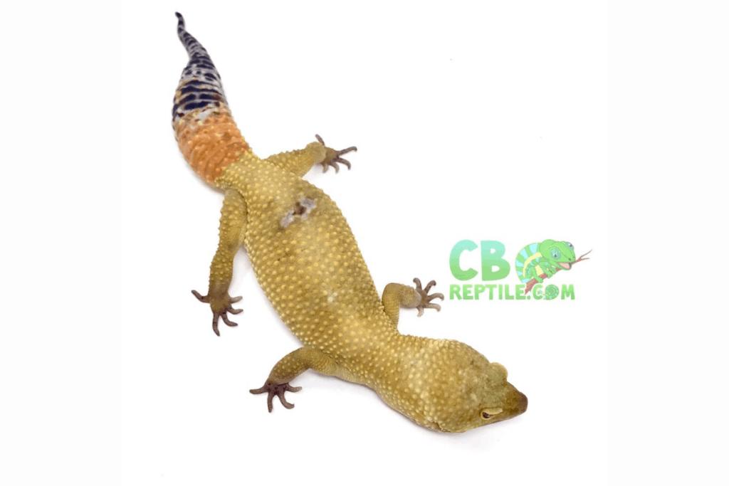 leopard gecko morphs carrot tail