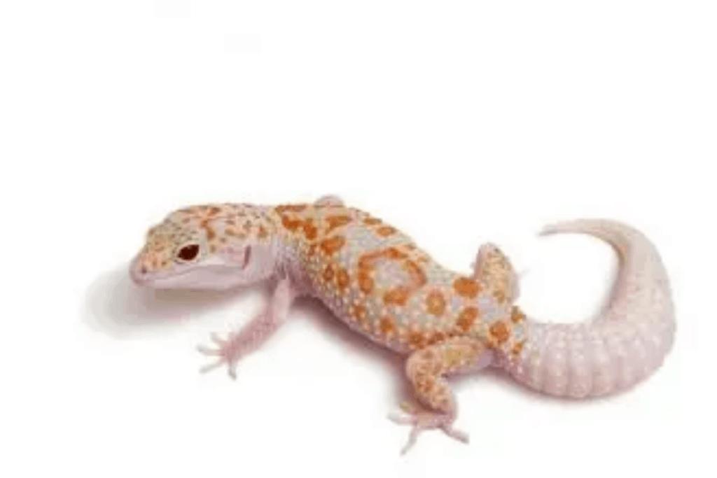leopard gecko morphs creamsicle