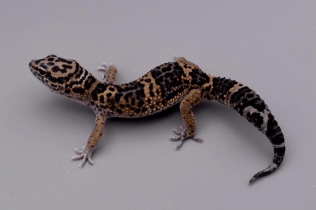 leopard gecko morphs ember
