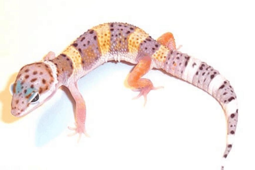 leopard gecko morphs high yellow