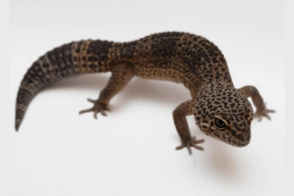 leopard gecko morphs hypermelanistic