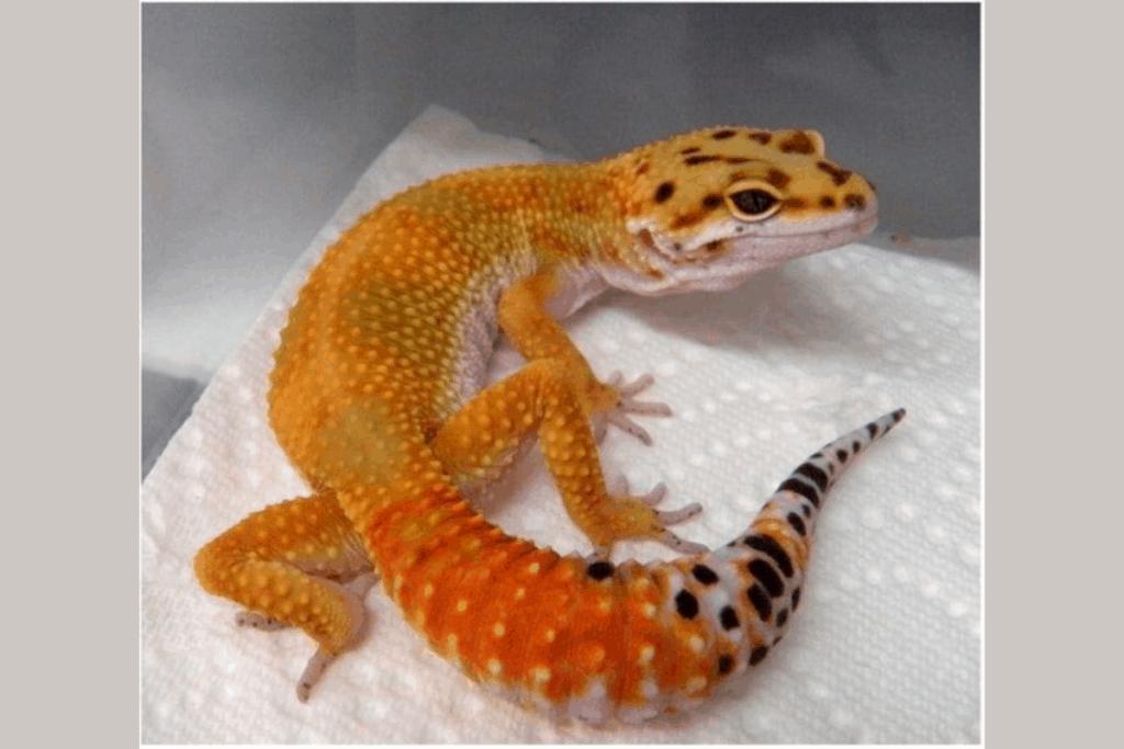 leopard gecko morphs hypomelanistic