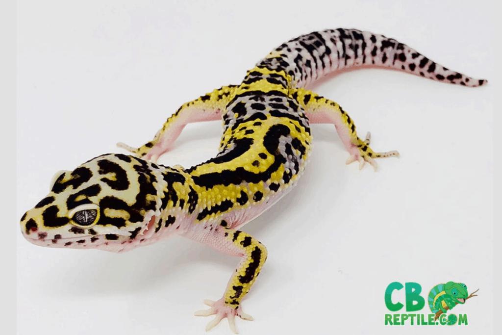 leopard gecko morphs lavender