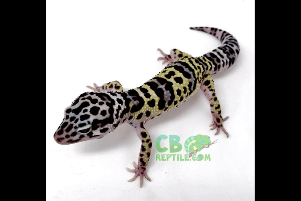 leopard gecko morphs mack snow