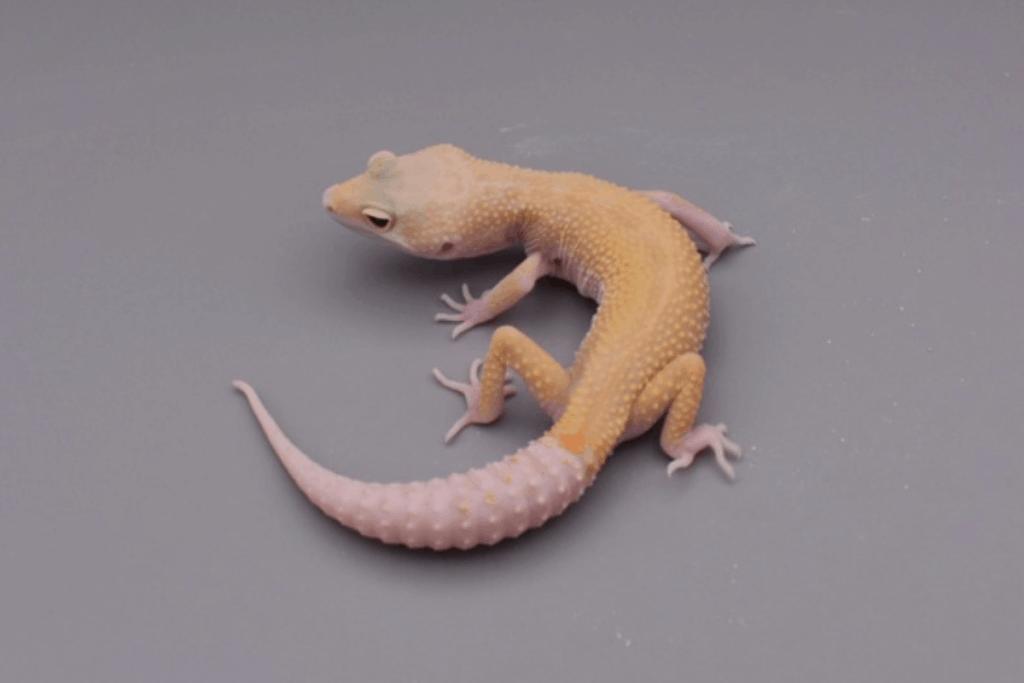 leopard gecko morphs murphy patternless