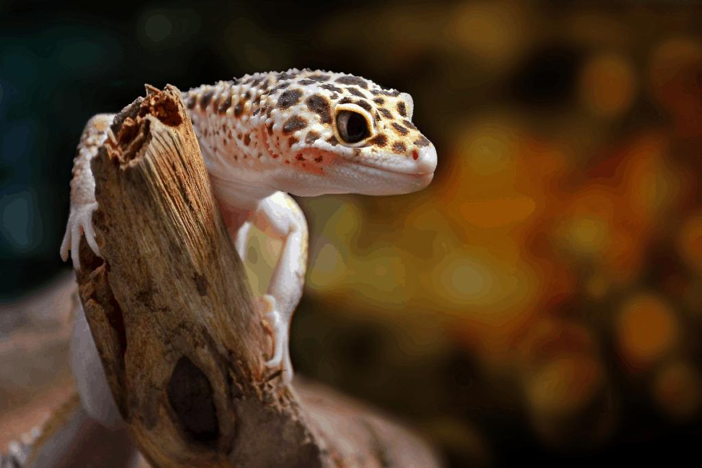 leopard gecko morphs normal