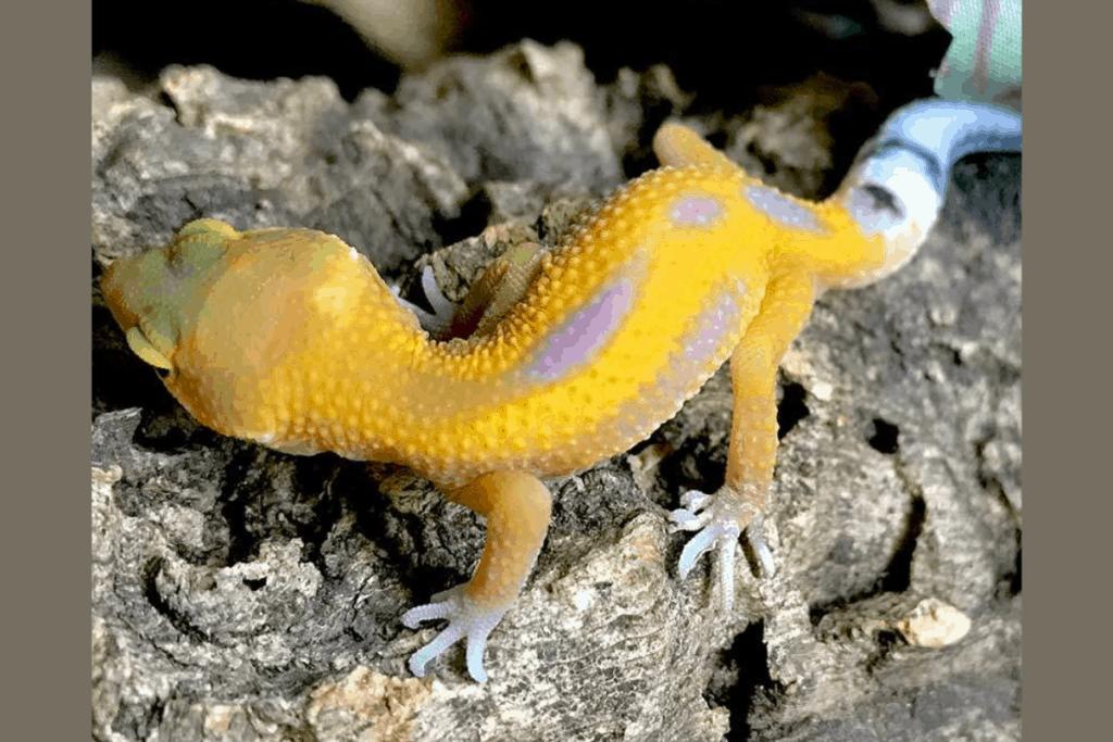 leopard gecko morphs reverse stripe