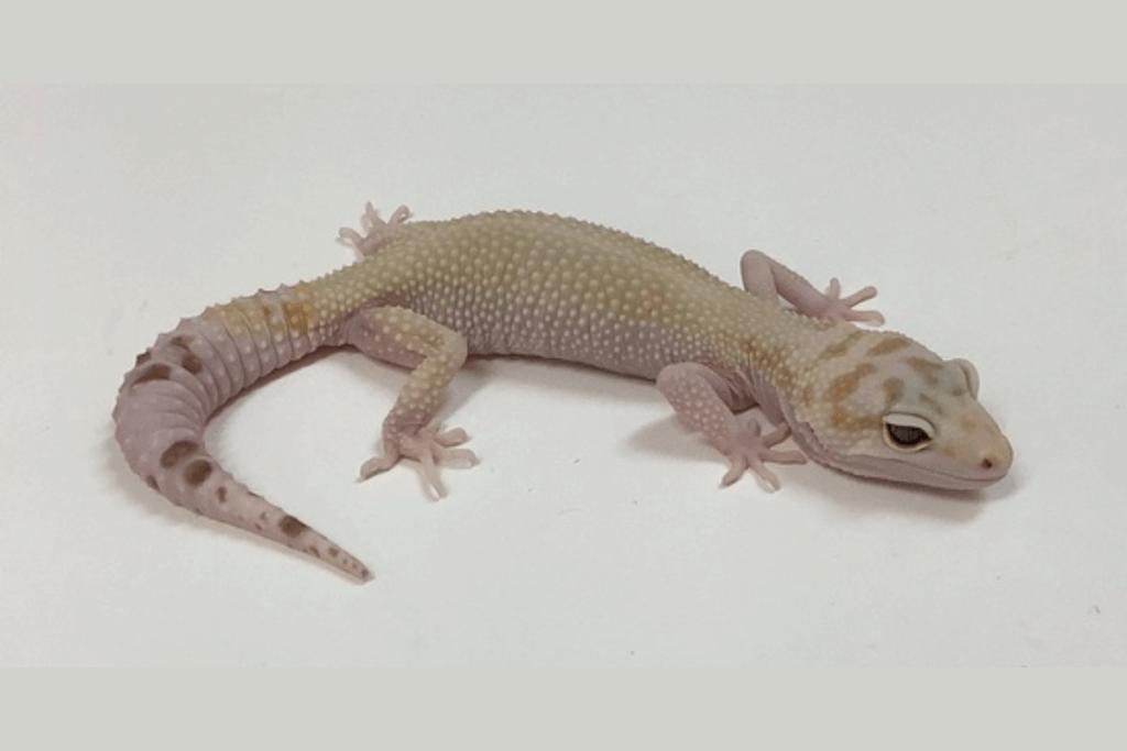 leopard gecko morphs snowglow