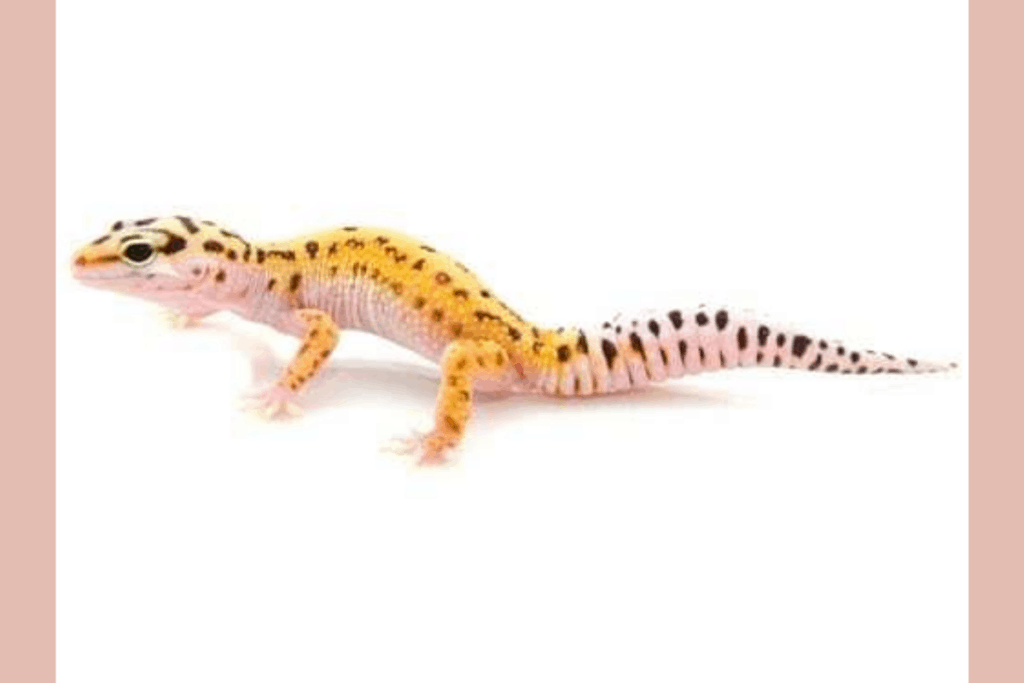 leopard gecko morphs stripe