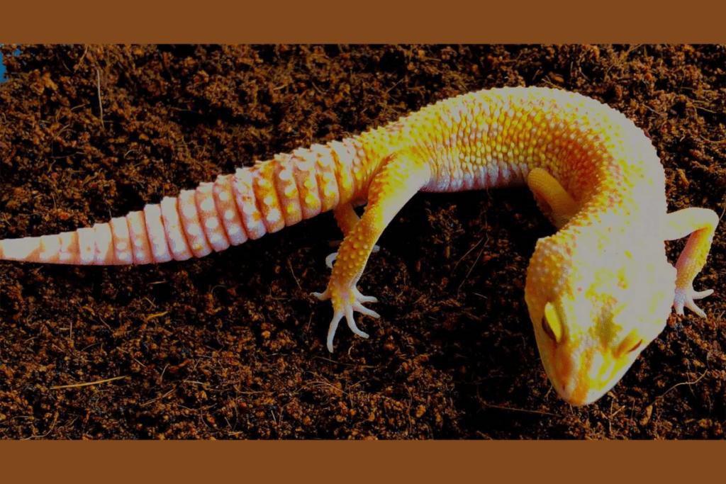 leopard gecko morphs sunglow