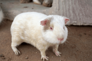 maggots in guinea pig cage 1