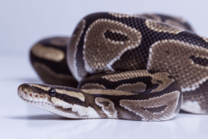 what to do if your ball python wont eat 1