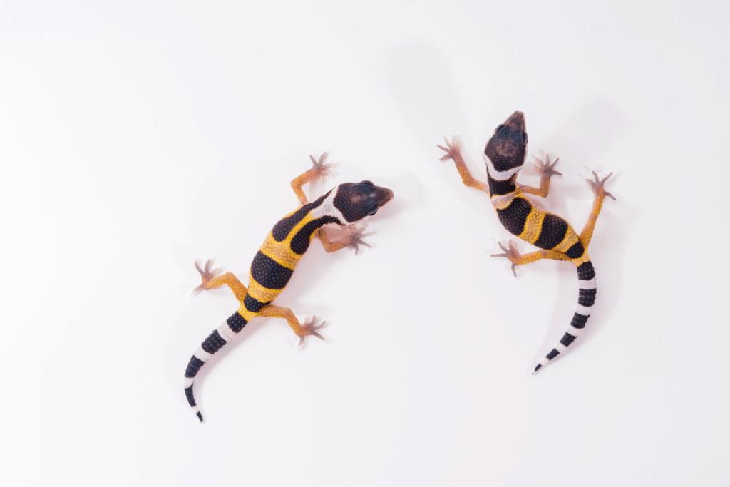 when is leopard gecko breeding season 1