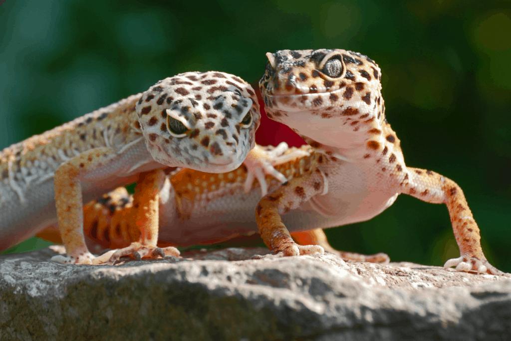 when is leopard gecko breeding season 2