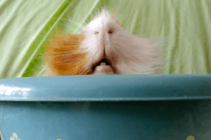 why does my guinea pig bite me 1