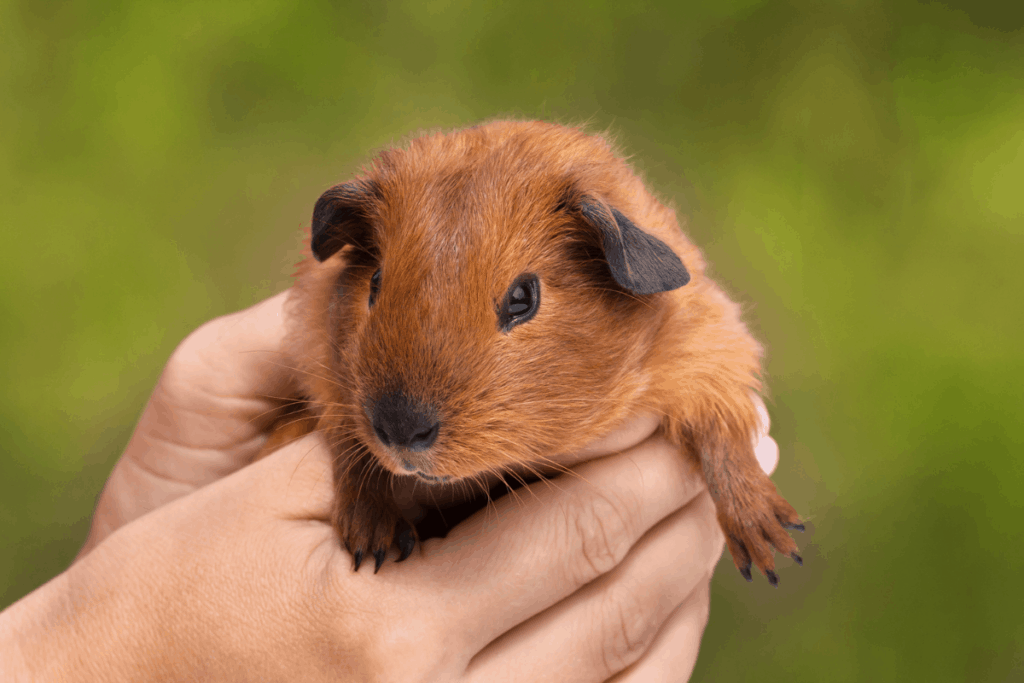 why does my guinea pig bite me 2