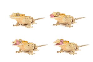 crested gecko cost