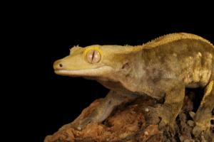 crested gecko mbd 1