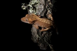 crested gecko night light 1