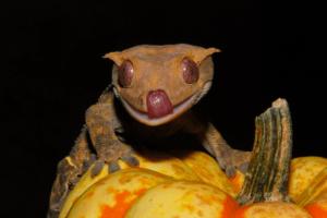 crested gecko scream 1
