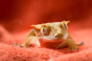 sick crested gecko 1