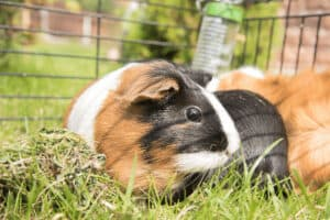 what can guinea pigs eat 1